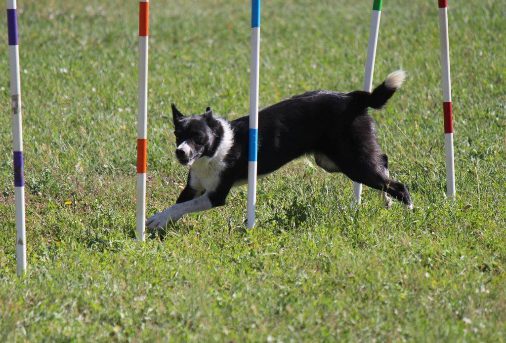 Acrobatic Dog 1