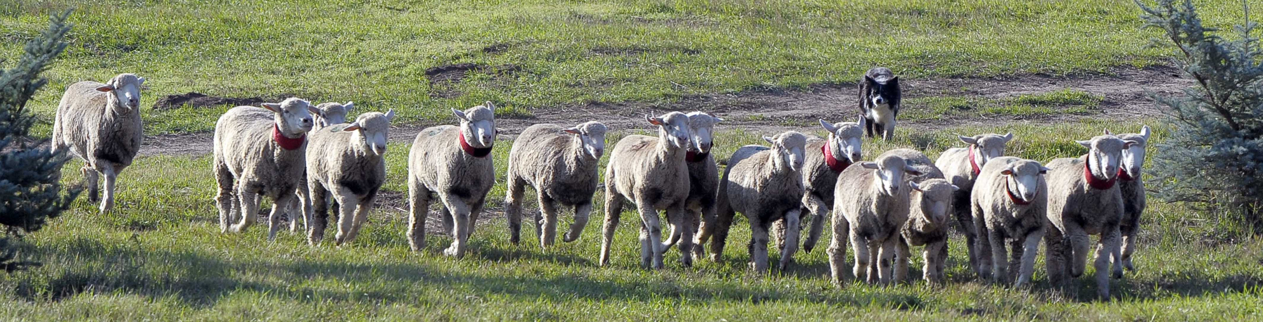 sheepdog header template_more sheep